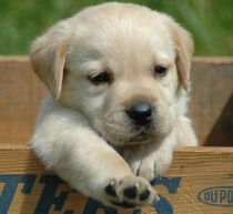 dogs-wallpapers-retriever-puppy-s-pics