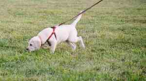 Even very young puppies can begin tracking training. I started training my Labrador Retriever, Lily, when she was seven weeks old. Here's Lily tracking a strange person's scent at twelve weeks of age.